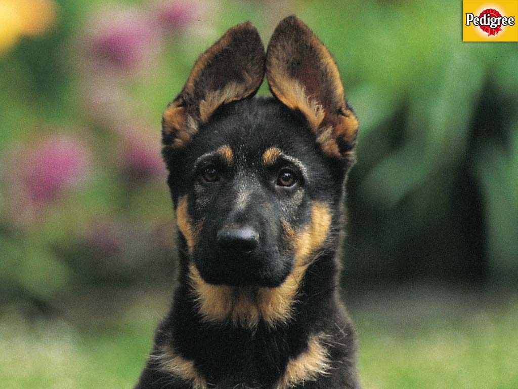 Dachshund German Shepherd Mix Puppies German shepard pup