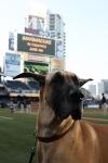 Marmaduke Padres Game (8)